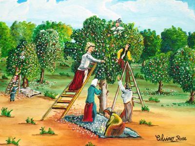 Rose Calvino - Ceuillettes fleurs d'orangers